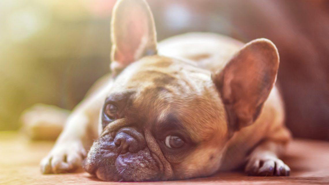 Quelles sont les maladies les plus fréquentes chez les chiens?